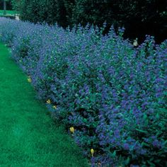 "Caryopteris ""Longwood Blue"""