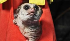 Why do we sleep? Scientists are studying hibernating lemurs for clues...