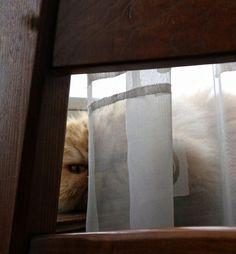 Eckhart Tolle dice di aver vissuto con diversi maestri ZEN : erano tutti gatti  #gatta #eckharttolle #pets #persiano #atipico #occhidigatto #spiare
