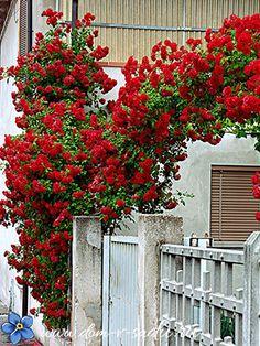 Плетистые розы цветущие все лето сорта зимостойкие. | Красивый Дом и Сад