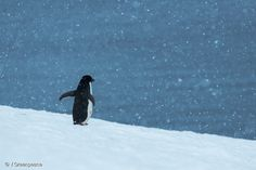 Lets protect the wildlife of the Antarctic who are at risk of losing their main source of food (krill) due to large fishing vessels in the area. Go to http://ift.tt/2mEvldO to get involved. . . . #antarcticoceansanctuary #protectantarctic activism #riseupendoil #savethearctic #salvaelartico #peoplevsoil #renewables #cleanenergy #climatechange #motivation #inspiration #nature