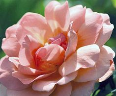 This coral-apricot 'Sweet Fragrance Rose' smells heavenly. And --it's one of the easiest roses you can grow!