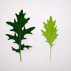 Same seeds. Different growing conditions. One mizuna leaf was rich and hearty the other subtle and delicate. Our Growing Profiles offer you total control of not only what you grow but how you grow it. That's #PersonalProduce. #mizuna #greens #mustard #healthy #growing #gardening #hydroponics #aeroponics #growyourown #sproutsio by sproutsio