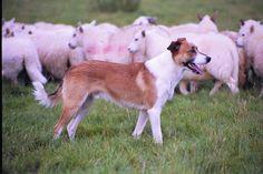 Cwmhenog Taff owned by Sue Davies - Courtesy Adeline Jones