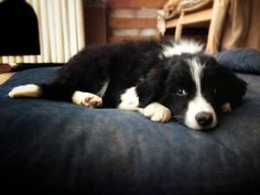 One of my border collie puppies... so sweet!