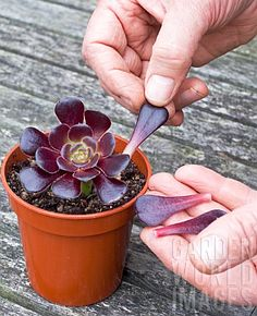 Propagation of succulents from leaves...
