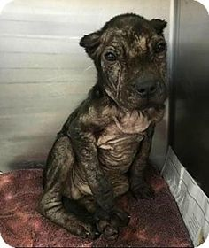 Dallas, GA - Pit Bull Terrier. Meet Prince Freedom, a puppy for adoption…