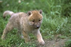awesome baby wolf walking wallpaper