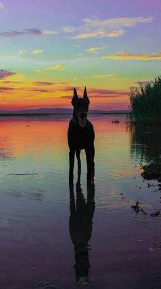 Doberman Ringtones and Wallpapers - Free by ZEDGE™ Dobermann Tattoo, Cute Puppies, Cute Dogs, Corgi Puppies, Animals And Pets, Cute Animals, Doberman Pinscher Dog, Doberman Love, Dog Wallpaper