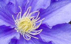 WALLPAPERS HD: Clematis