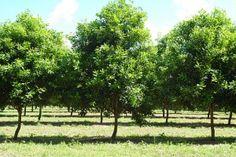 Organic Beaumont macadamia nut tree in courtyard