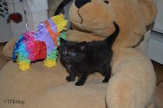 ~Tails from the Foster Kittens~: Cinco de Mayo - Estilo gatito, y el día de nomenclatura (kitten style and naming day)
