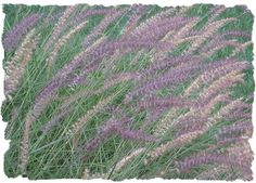 Purple Fountain Grass is one of the most popular ornamental grasses. Growing 3 to 4 feet high and doing best in full sun locations. A great looking accent to any garden, landscape or container. I have read in colder climates some of these grasses must be treated like annuals. Great colors in early autumn.