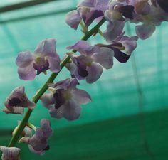 Ascd Blue, orchid