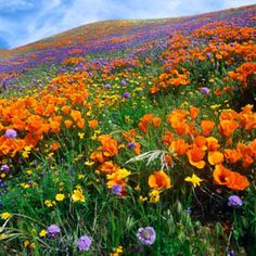 Global Gallery Nature Photographs California Poppy and Other Wildflowers Growing on Hillside, Spring, Antelope Valley, California by Tim Fitzharris. California Wildflowers, California Poppy, Valley California, Colorado Wildflowers, California Travel, Southern California, Antelope Valley Poppy Reserve, Champs, Painting Edges