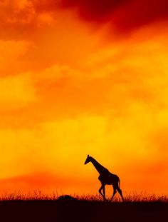 This Sunset photo of a lone giraffe is beautiful and haunting..............