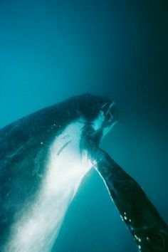 """A southern humpback whale calf swimming in blue waters."""" by National Geographic"""