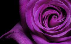 pitures of pink flower | ... pink flower background Pictures of Roses blue flower backgrounds