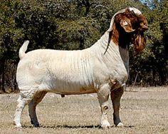 boer goat clip art | Boer Goat Drawings http://tha-baist ...