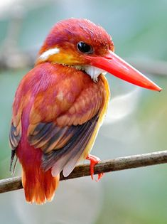 Oriental Dwarf Kingfisher, Ceyx erithaca motleyi by Ramon J Quisumbing