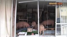 With media coverage of Fukushima disappearing from the news, we thought we'd repost some famous pictures of the town after the nuclear evacuation Famous Pictures, Fukushima, Donkey, Horse, Animals, Animales, Animaux, Donkeys, Horses