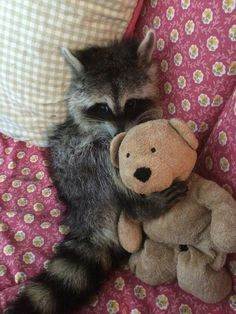 Raccoon Snuggles with Teddy