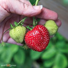 Small-space gardeners can still enjoy fresh-picked fruit with these six container-friendly fruit plants. Growing Strawberries In Containers, Grow Strawberries, Freezer Jam Recipes, Strawberry Planters, Bountiful Harvest, Fruit Plants, Best Fruits, Grow Your Own Food, Companion Planting