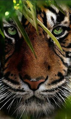 Animal Wallpaper for Android Mobile & iPhone Tiger Art, Pet Tiger, Bengal Tiger, Tier Wallpaper, Animal Wallpaper, Animals And Pets, Funny Animals, Cute Animals, Wild Animals