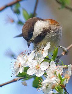 Chickadee on Apple Blossoms