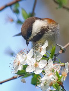 Chickadee on Apple Blossoms