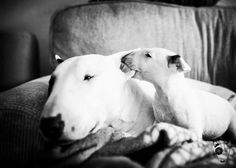 #English #Bull #Terriers