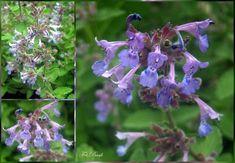 Nutella, Herbs, Garden, Plants, Hibiscus, Garten, Lawn And Garden, Herb, Flora