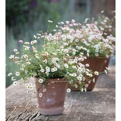 Perennials Erigeron karvinskianus This perennial self sows into crannies to make great curtain effects on steps, paths and walls. Pick yours now! - This perennial self sows into crannies to make great curtain effects on steps, paths and walls. Pot Jardin, Garden Cottage, Garden Planters, Fall Planters, Small Gardens, Dream Garden, Sun Garden, Garden Bar, Garden Trellis