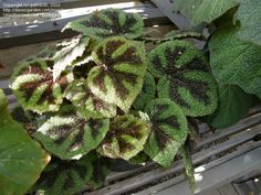 Begonia masoniana, Iron Cross Begonia. A striking black and green pattern.