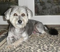 Charlie in TX - 6 year old Havanese would make great pet!  http://www.havaneserescue.com/index.php/our-rescue-dogs/available-for-adoption/998-charlie-in-tx