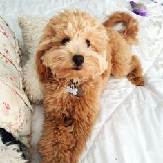 Petite Mini Goldendoodle Fluffy Animals, Baby Animals, Animals And Pets, Cute Animals, Cute Puppies, Dogs And Puppies, Dog Crossbreeds, Doodle Dog, Funny Dog Pictures