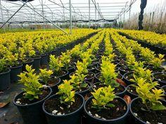 Euonymus japonica aurea