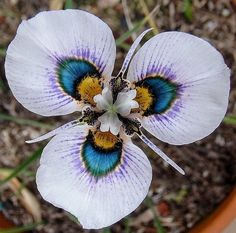 , flowersgardenlove: Peacock Flower Beautiful...