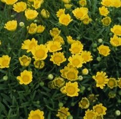 Pase Seeds - Chrysanthemum Button Yellow Annual Seeds, $3.49 (http://www.paseseeds.com/chrysanthemum-button-yellow-annual-seeds/)