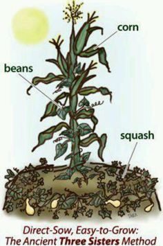 """3 sisters"" planting...or companion planting seen by mesoamerica years ago...;)"