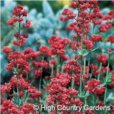 "Centranthus ruber 'Coccineus'--Jupiter's Beard™ - 2-3' tall and 30"" wide, the perennial has handsome foliage, and is super-easy to grow.  There's a white-flowered version, too, called 'Alba.'"