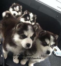 Siberian Husky DLA Review Illinois Pomsky Breeder