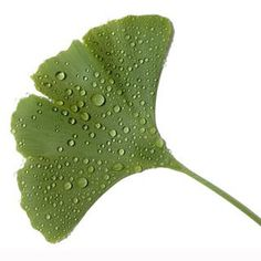 Ginkgo biloba- the most interesting plant in the world.