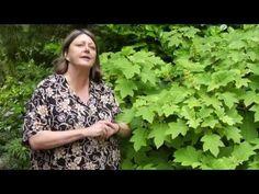 ▶ How to Prune Oak-Leaf Hydrangea - Instructional Video w/ Plant Amnesty - YouTube