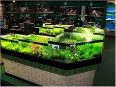 Aquarium Plants - Aquarium Fish Advisor Live Aquarium Plants, Planted Aquarium, Aquarium Fish, Freshwater Fish, Tropical Fish, Fish Tanks, Aquascaping, Aquariums, Projects