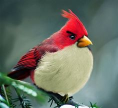 "Cardinal....looking little like one of the ""angry birds"""