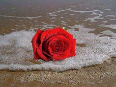 rosa vermelha no mar