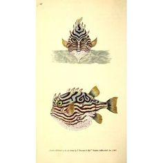 Naturalists Repository 1824 Tobins Striped Trunk-fish Canvas Art - E Donovan (24 x 36)
