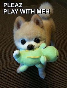is this what a shaved pomeranian looks like because i will so do this once i have mine! haha