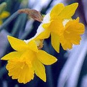 Narcissus obvallaris (The Tenby daffodil) Click image to learn more, add to your lists and get care advice reminders each month.